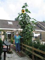 Sjoukje Duin voor haar 4,63 m hoge zonnebloem